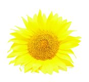 изолированная предпосылкой белизна солнцецвета Стоковое Фото