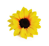 изолированная предпосылкой белизна солнцецвета Стоковое Изображение RF