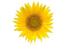 изолированная предпосылкой белизна солнцецвета Стоковые Изображения RF