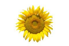 изолированная предпосылкой белизна солнцецвета Стоковое фото RF