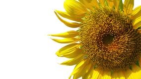 изолированная предпосылкой белизна солнцецвета Стоковая Фотография RF