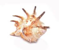 изолированная предпосылкой белизна seashell Стоковая Фотография RF