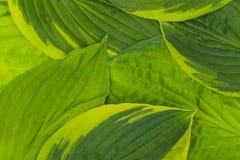 изолированная принципиальной схемой белизна природы Предпосылка больших листьев хозяина, конца-вверх Стоковое Изображение