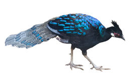 Изолированная птица павлина стоковые изображения