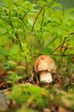 изолированная пущей белизна гриба Стоковые Фото