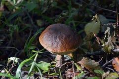 изолированная пущей белизна гриба Стоковое Изображение