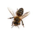 Изолированная пчела Стоковые Фотографии RF