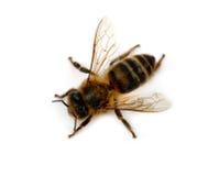 Изолированная пчела Стоковые Фото