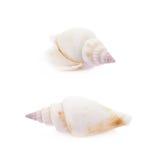 изолированная раковина моря Стоковое Изображение RF