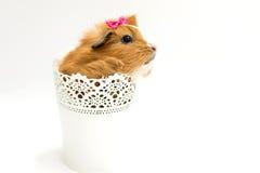 Изолированная свинья Guiena - Стоковая Фотография RF