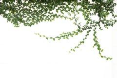 Изолированная смоква зеленого плюща взбираясь стоковые изображения