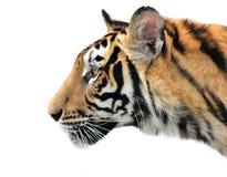 Изолированная сторона тигра Бенгалии стоковая фотография