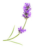 Изолированная трава лаванды цветка фиолетовая стоковое изображение