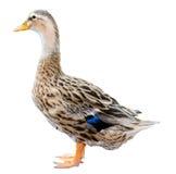 Изолированная утка кряквы стоковое изображение