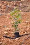 Изолированная хурма дерева Стоковое Изображение RF