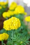изолированная цветком белизна ноготк Стоковое фото RF