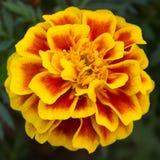 изолированная цветком белизна ноготк Стоковые Фотографии RF