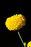 изолированная цветком белизна ноготк Стоковые Изображения RF