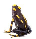 Изолированная лягушка стрелки отравы Стоковое Изображение