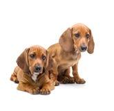 2 изолированного щенят таксы/ Стоковая Фотография RF