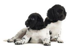 2 изолированного щенят Stabyhoun, Стоковое Изображение RF