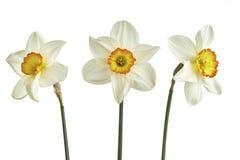 3 изолированного narcissus Стоковое Фото
