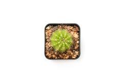 Изолированное взгляд сверху кактуса круга в квадратном баке дерева Стоковые Фотографии RF