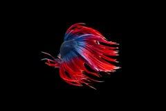 Изолированное движение рыб betta crowntail на черной предпосылке Стоковые Изображения
