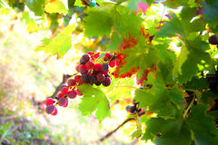 изолированное вино waite om красное Стоковое Фото