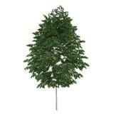 Изолированное дерево. Береза повислая Стоковые Изображения RF