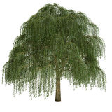 Изолированное дерево вербы Стоковые Фото