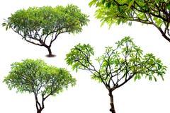 Изолированное дерево виска Стоковая Фотография
