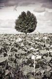 Изолированное дерево в солнцецветы Стоковое Фото