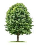 Изолированное дерево конского каштана Стоковое фото RF