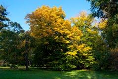 Изолированное дерево покрытое с желтыми листьями Стоковая Фотография RF