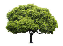 Изолированное дерево пули деревянное Стоковое Фото