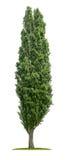 Изолированное дерево тополя стоковая фотография