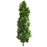 Изолированное дерево тополя Стоковые Фото