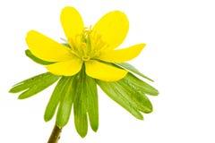 Изолированное желтое цветение аконита зимы Стоковые Фото