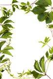 Изолированное зеленое листво Стоковое фото RF