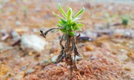 Изолированное зеленое растение растет вверх на почве Стоковые Изображения RF