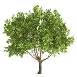 Изолированное оливковое дерево Стоковое Изображение
