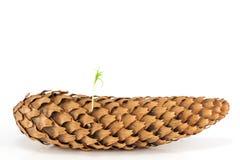 Изолированное семя ростка сосны весны от pinecone Стоковое фото RF