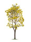 Изолированное серебряное дерево трубы или желтый цвет Tabebuia на белой предпосылке Стоковые Изображения