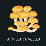 Изолированное mellea, одичалый фуражированный гриб Armillaria, Vector съестные естественные грибы в комплекте природы, органическ Стоковые Изображения