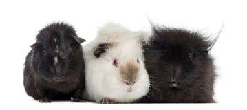 3 изолированной морской свинки, Стоковая Фотография RF