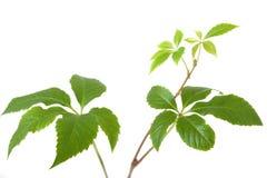 Изолированные ветви дерева завода плюща или лозы виноградин с листьями o Стоковое Изображение