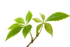 Изолированные ветви дерева завода плюща или лозы виноградин с листьями o Стоковое фото RF