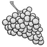 Изолированные винтажные виноградины иллюстрация штока