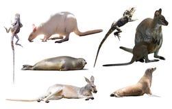 Изолированные животные Австралии Стоковое фото RF